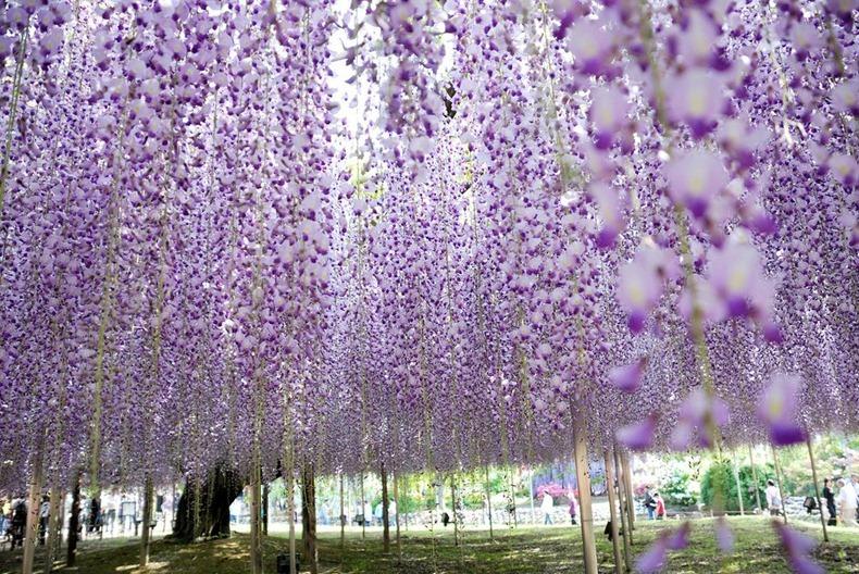 من أجمل وأروع حدائق العالم : حديقة زهرة الحب ashikaga-flower-park